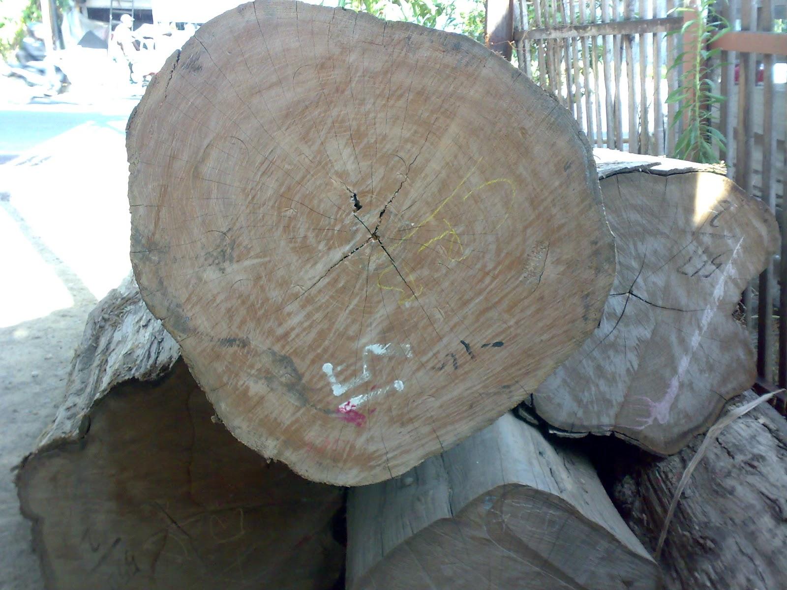 pohon jati diameter 80cm & umur 100 tahun
